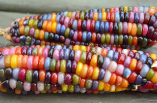 Rainbow Corn AKA Glass Gem Corn Is The Prettiest Corn