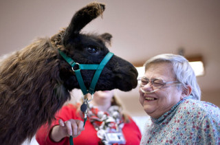 Therapy Llamas Will Make You Feel Better