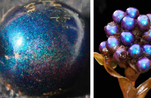 The World's Shiniest Living Thing: