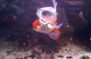 Disabled Goldfish Gets A Lifejacket