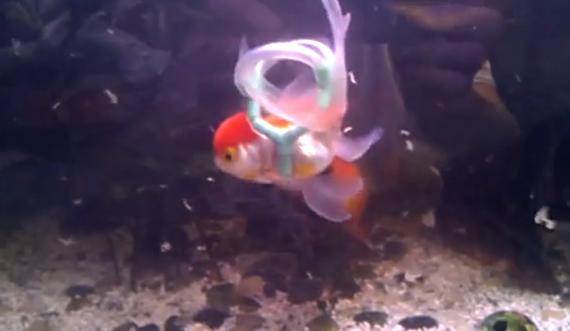 Disabled Goldfish Gets A Lifejacket