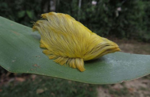 A Caterpillar That Looks Like Donald Trump's Comb-over