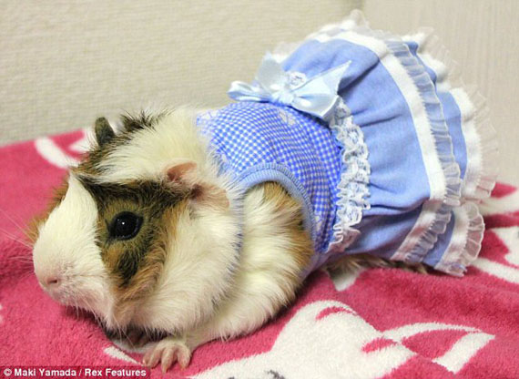 guinea-pig-fashion-2