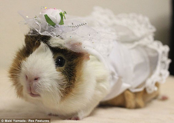 guinea-pig-fashion-3