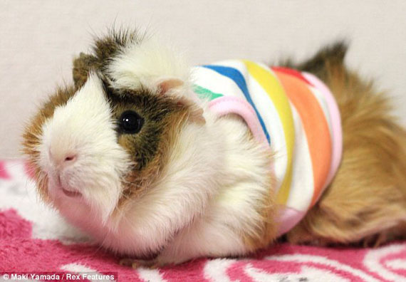 guinea-pig-fashion-4