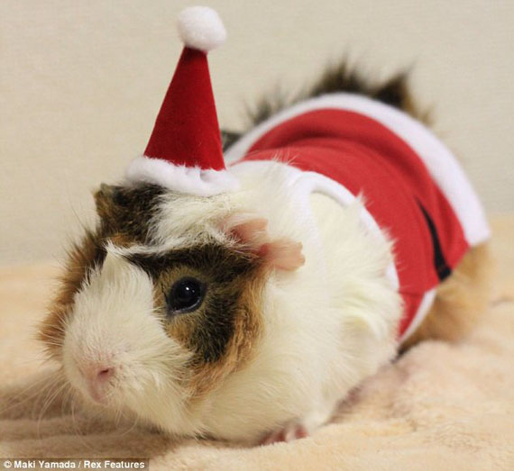 guinea-pig-fashion-5