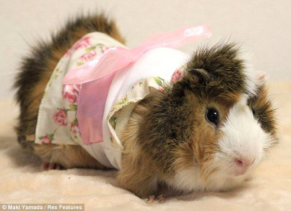 guinea-pig-fashion-6