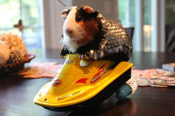 guinea-pig-armor-2