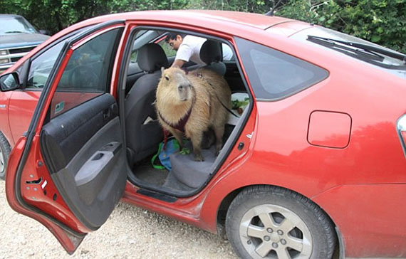 giant-rodent-pet-4