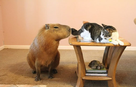 giant-rodent-pet-5