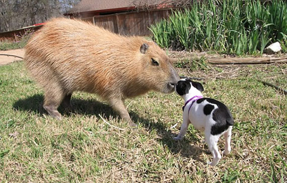 giant-rodent-pet-7