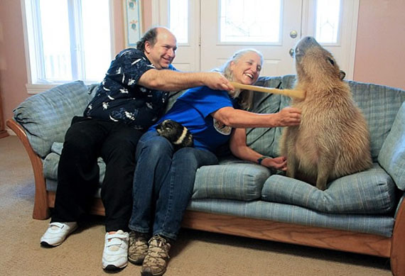 family keeps 110 pound rodent as a pet incredible things. Black Bedroom Furniture Sets. Home Design Ideas