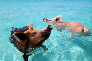 Bacon Beach: Island Of Swimming Pigs