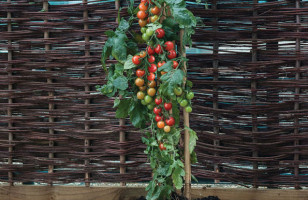 Plant Grows Tomatoes AND Potatoes