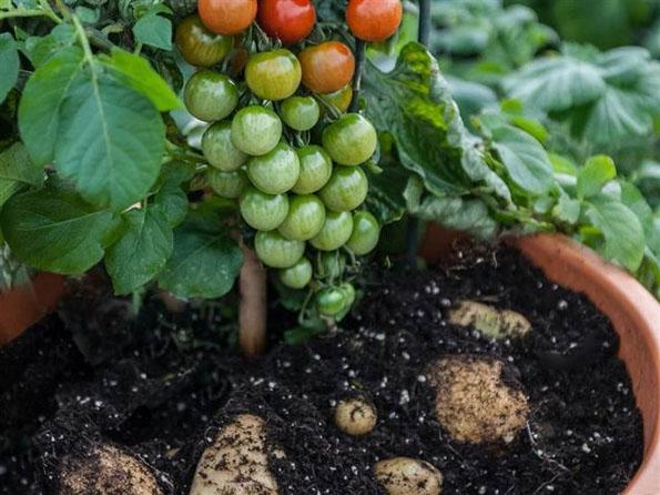 tomato-potato-plants