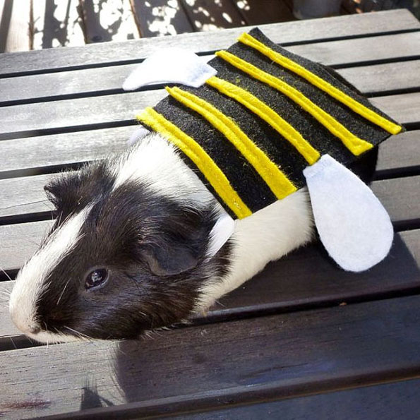 guinea-pig-costumes-1