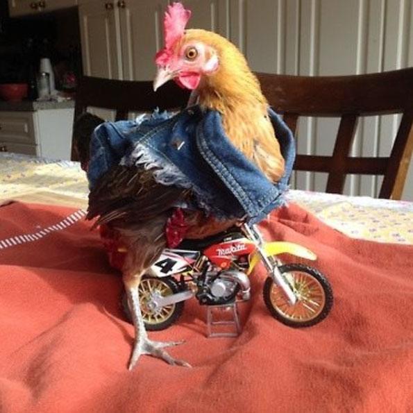 chicken-jacket-motorcycle