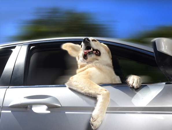 dogs-car-window-2