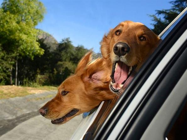 dogs-car-window-4