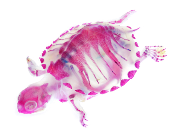 dyed-marine-life-skeletons-4