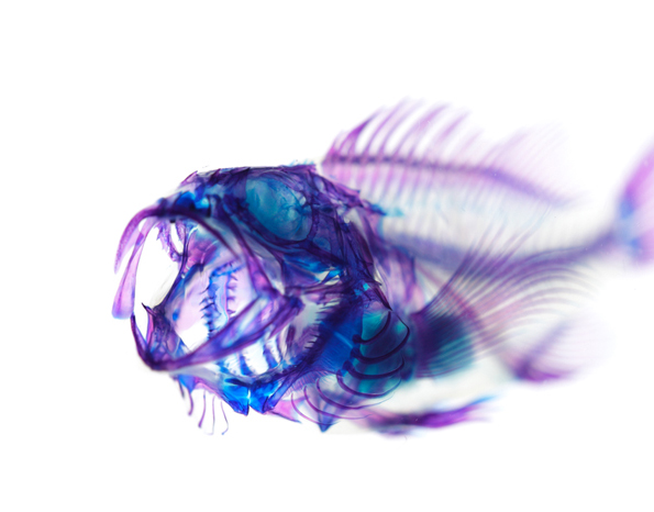 dyed-marine-life-skeletons-6