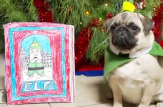 'Elf' Re-enacted By A Pug Puppy