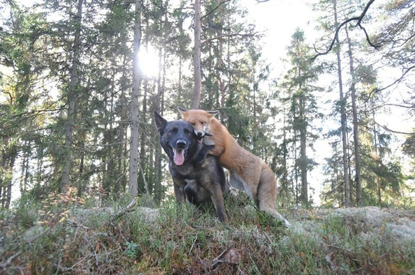Real Life Fox & the Hound