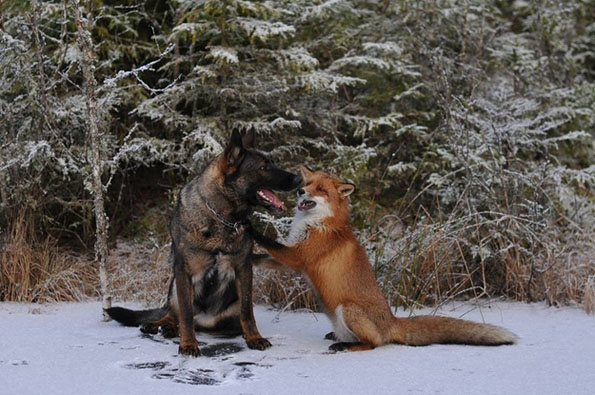 tinni-sniffer-real-life-fox-and-hound-13