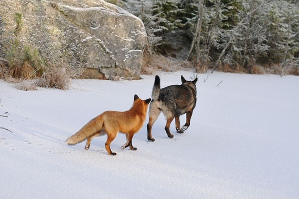 tinni-sniffer-real-life-fox-and-hound-14