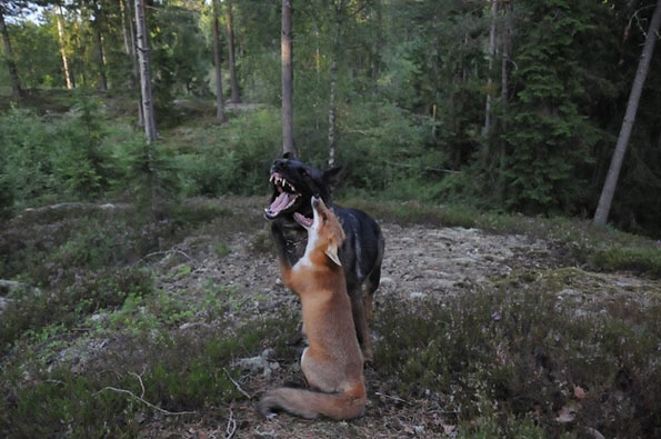 tinni-sniffer-real-life-fox-and-hound-2