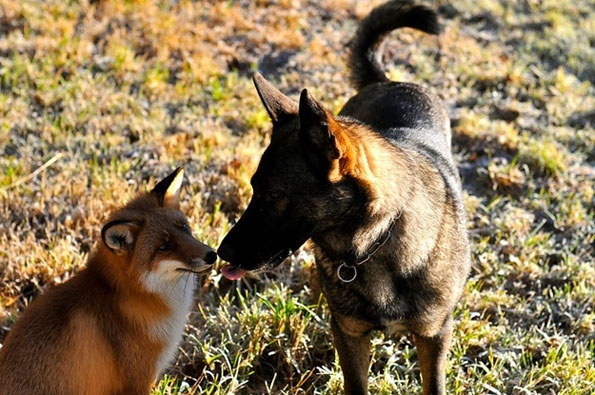 tinni-sniffer-real-life-fox-and-hound-3