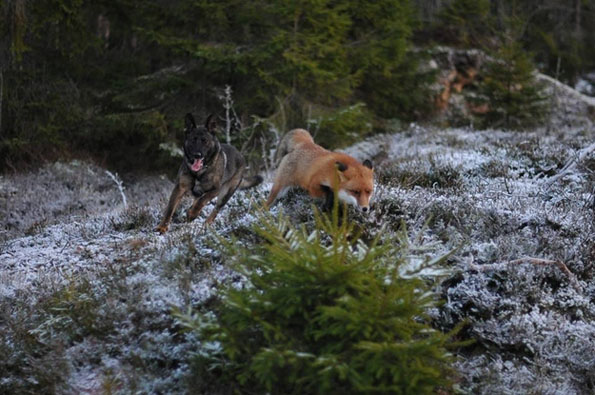 tinni-sniffer-real-life-fox-and-hound-6
