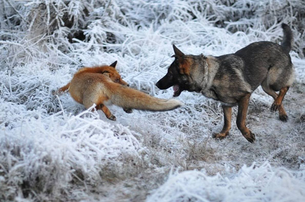 tinni-sniffer-real-life-fox-and-hound-7