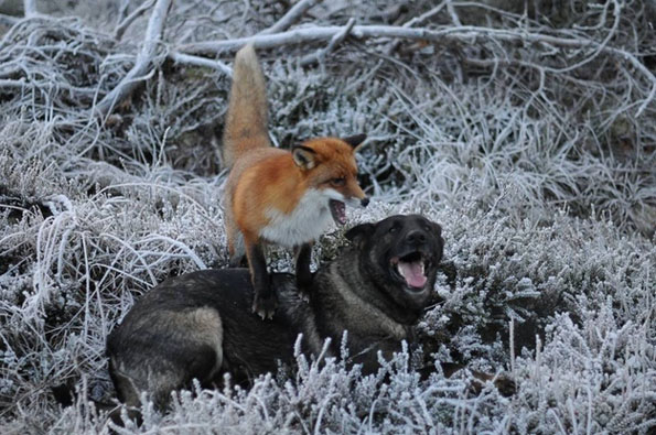 tinni-sniffer-real-life-fox-and-hound-8
