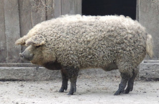 MUTANT!: The Sheep-Pig