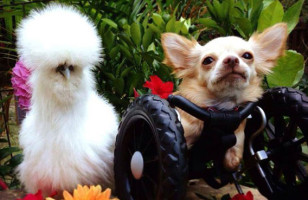 This Two-Legged Chihuahua And Silkie Chicken Are BFFs