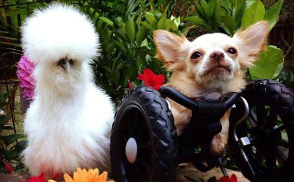 Chihuahua/Chicken BFFs