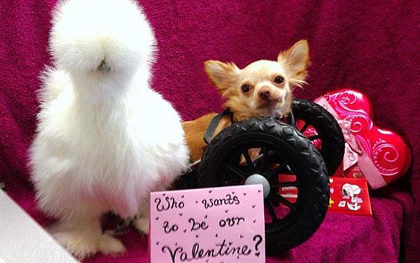 chihuahua-chicken-best-friends-2
