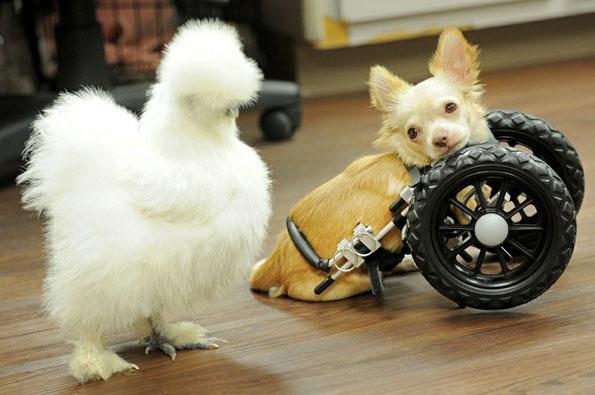 chihuahua-chicken-best-friends-5