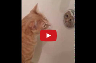 Cat Is Obsessed With Looking At Himself In Mirror