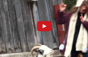 Goat Sneezes, Scares The Bejesus Out Of Hipster Girl