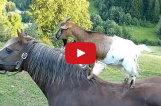 This Goats On Horses Compilation Is Ridiculous