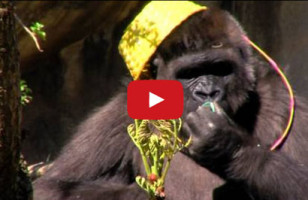 Watch These Gorillas Go On An Easter Egg Hunt