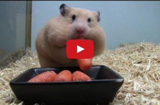 Chunky Hamster Stuffing His Face Full Of Carrots