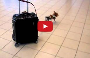 Tiny Dog Pulls Big Suitcase Through Airport