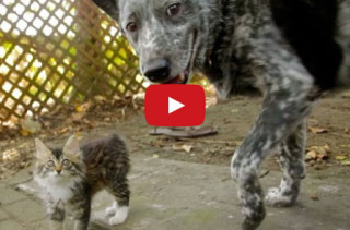 Cattle Dog & Disabled Kitten Are The Sweetest Besties