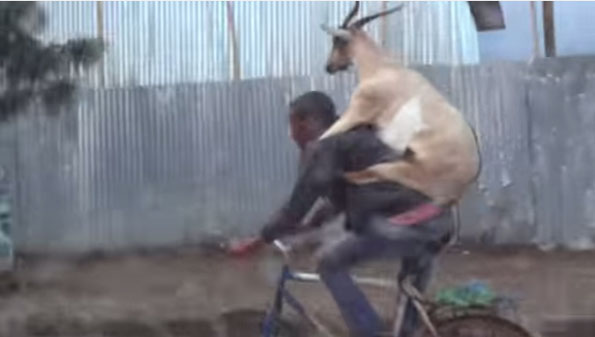 goat-backpack-riding-man-riding-bicycle-