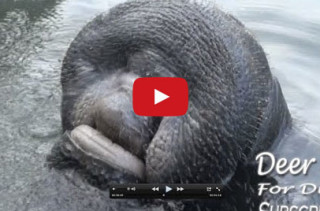 A Manatee Drinking Water WTF Did I just Watch