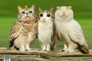 Meowls: Cat Heads, Owl Bodies