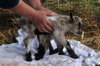 Goat Born With 8 Legs Dubbed Octogoat, Is Adorable